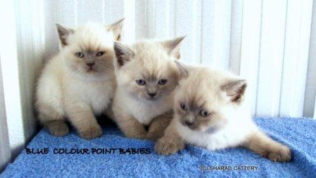Blue Colour Point babies