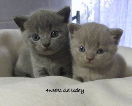 Blue Male (left) and Lilac Female (right)