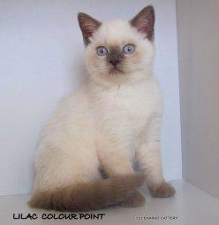 Lilac Colour Point