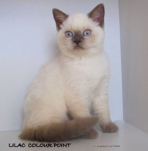 Lilac Colour Point