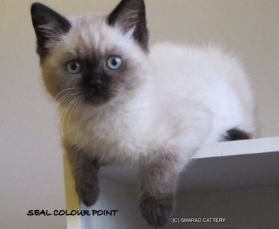Seal Colour Point