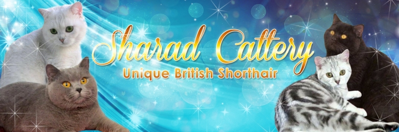 Sharad Cattery breeders of British Shorthair and Bombay Cats